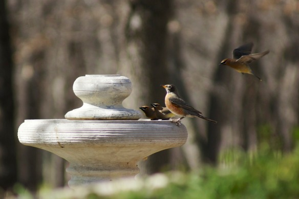 Cedar Waxwings and a Robin