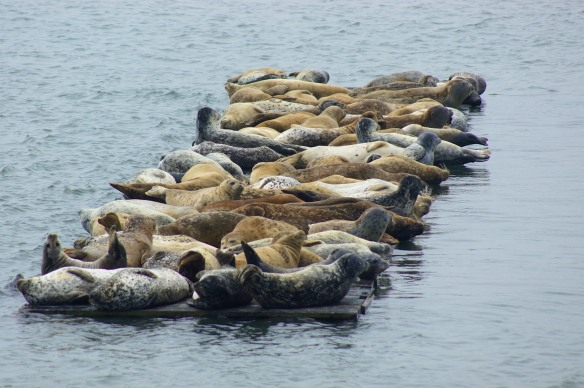 Seal Lions in the harbor