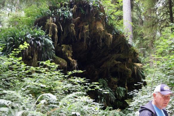 A Fallen Tree's Roots